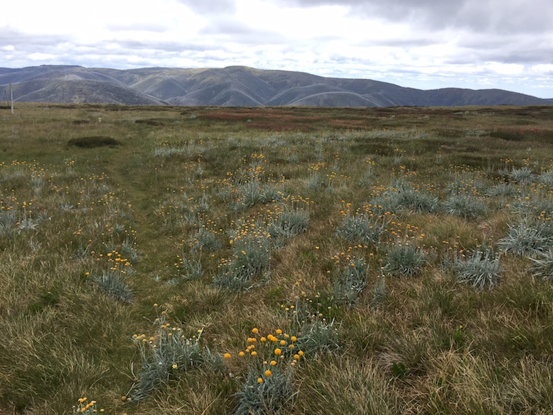 A rich tapestry of grasses and flowering herbs in Kosciuszko National Park