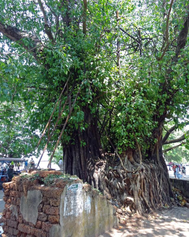 Bodhi tree (Ficus religiosa), strangler fig found throughout Asia.