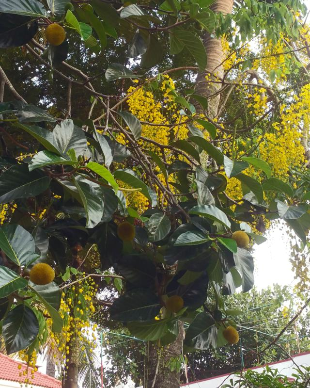 Indian laburnum or golden shower tree (Cassia fistula) and kadam tree (Neolamarckia cadamba). Thanks to Hari for the ident.