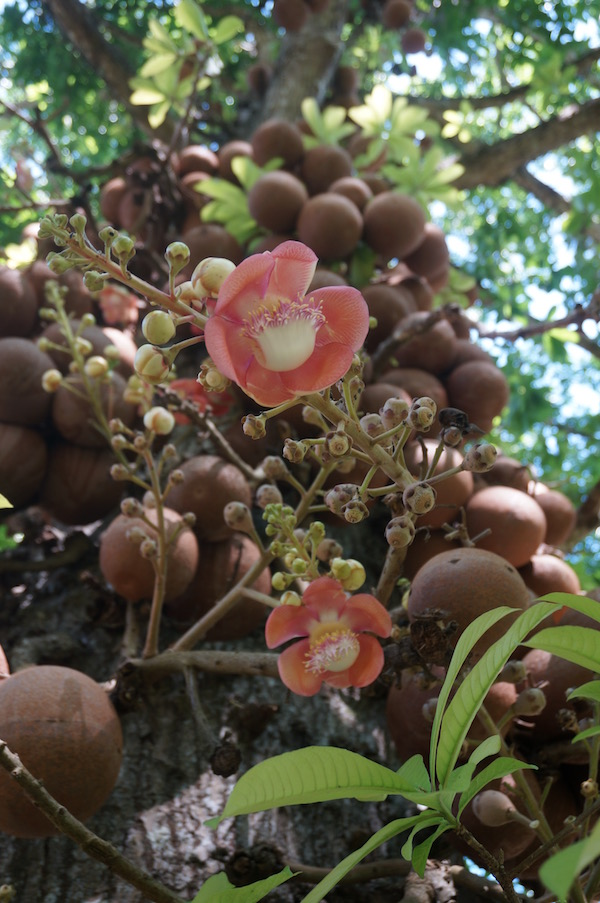 Flowers and fruit on the cannonball tree, Couroupita guianensis