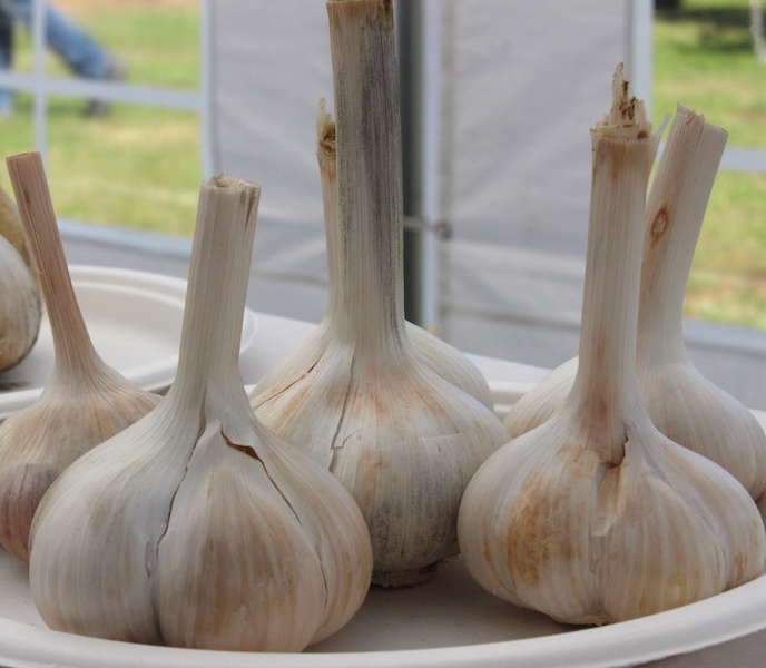 Garlic entries. Photo Carey Badcoe