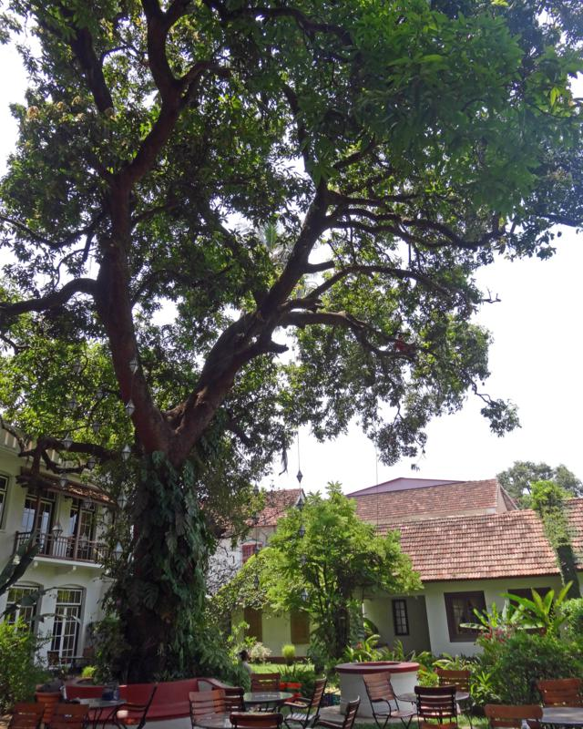 The mango tree is at the Old Harbour Hotel in Fort Cochin, India.