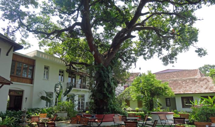 Mango tree in Fort Cochin_707x419