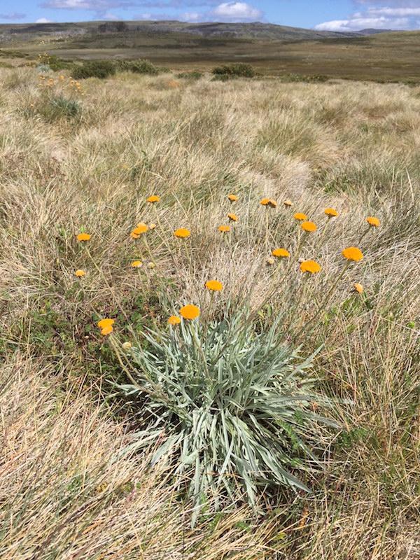 Endangered Monaro golden daisy, Rutidosis leiolepis
