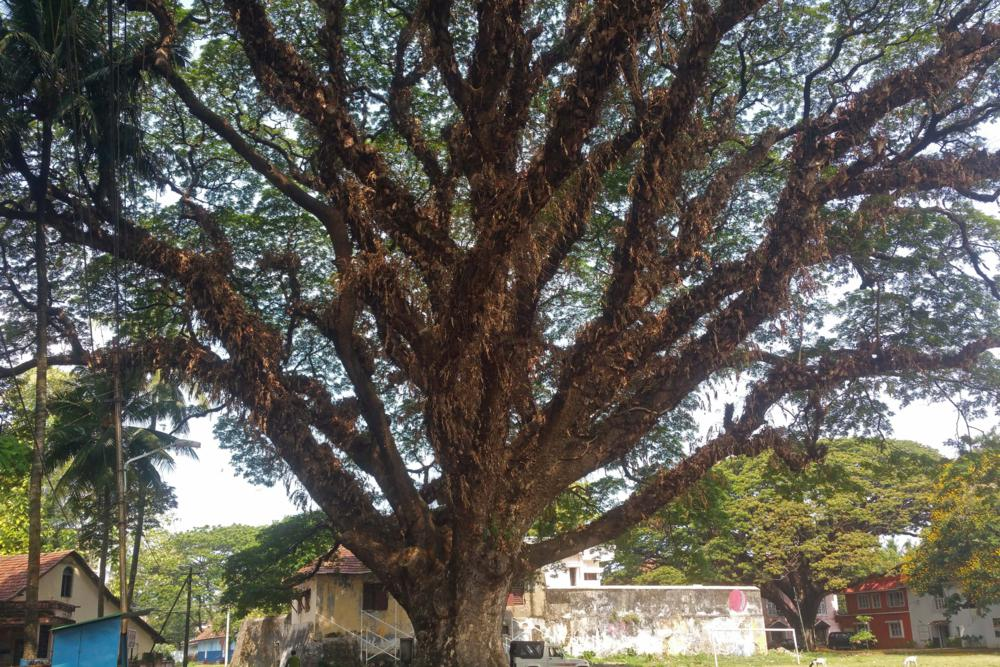 Rain tree (Albizia saman). This one is known as The Grandfather Tree, maybe the largest one in Fort Cochin.