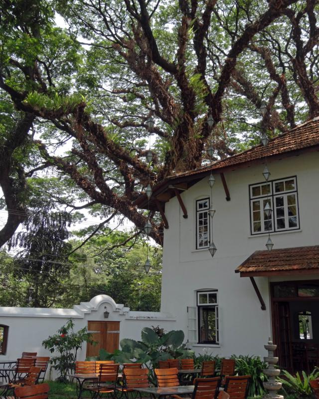The mango tree is just one of many magnificent specimens around Fort Cochin that add to the town's heritage charm. In the street outside and visible from near 'my' mango tree, is a row of massive rain trees about 300 years old – dating them to the Portuguese era in Fort Cochin. Their heritage importance is taken seriously by local businesses that rely on the tourists who visit Cochin for its exotic mix of Dutch and Portuguese colonial enchantment. Recently, someone started digging trenches through their root zones to put down new paving. The business lobby had that stopped before any damage resulted. A better solution was found, with no cutting through precious roots!