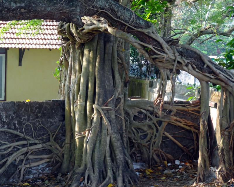Strangler fig doing its thing (2)_800x640