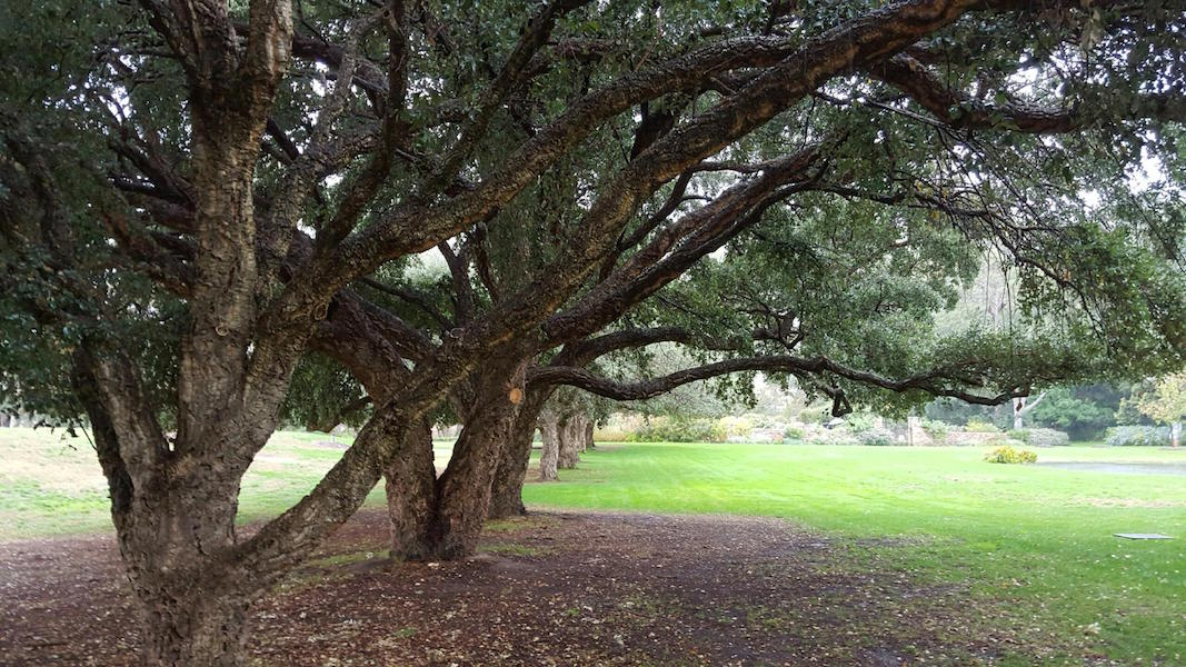 Avenue of cork oaks at The Falls. Photo Annie Woodside