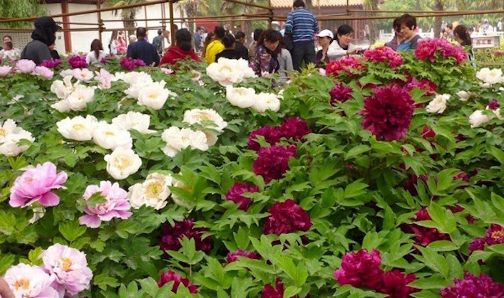 Luoyang Peony Festival. Photo Peter Whitehead