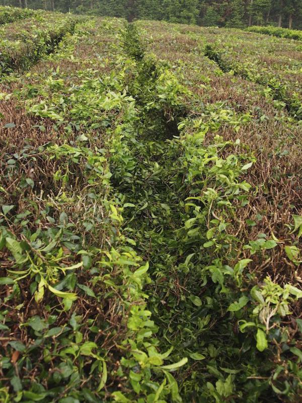Prunings are left between the tea plant rows to rot down