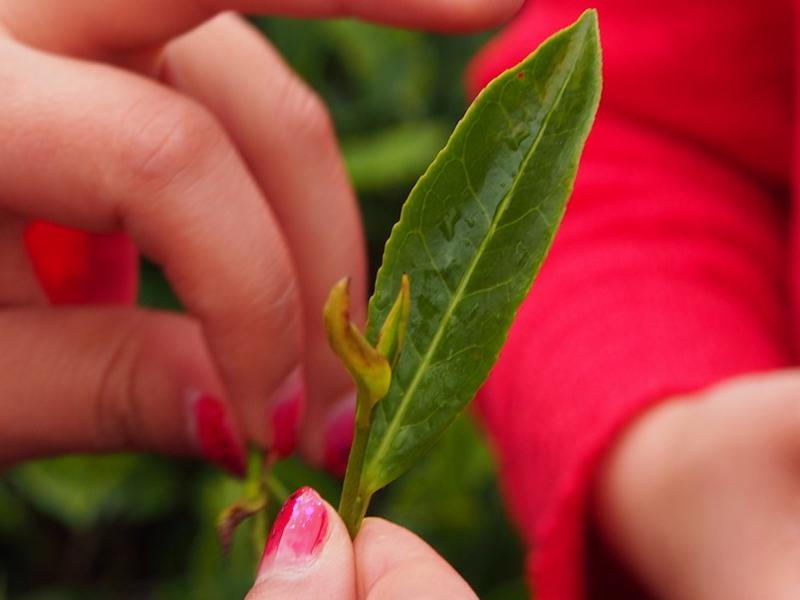 Showing the top buds picked for tea production near Baoshan, Yunnan