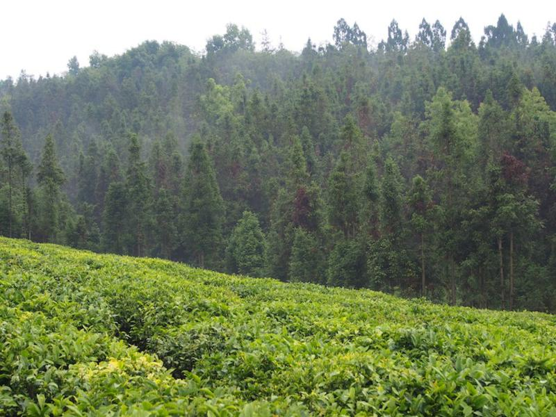 Tea plantation near Baoshan, Yunnan, China