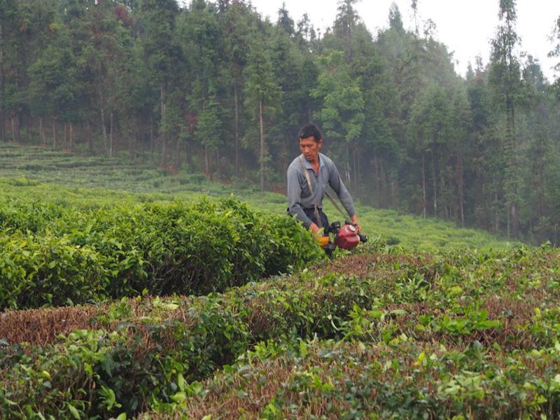 Tea plants get a one third spring prune