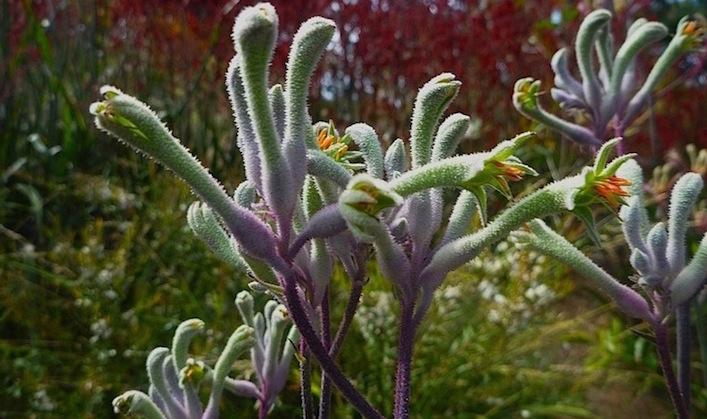 Anigozanthos-flavidus-kangaroo-paw-Landscape-Violet