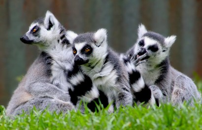 Ring-tailed lemur, Lemur Catta, Madagascar