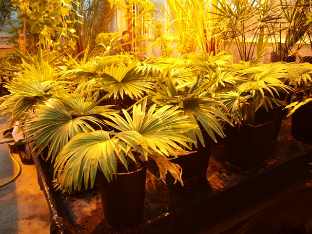 Seedlings at Kew of Tahina spectabilis, the suicide palm