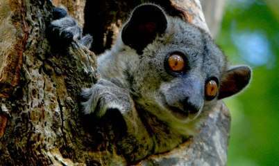 Red-tailed Sportive Lemur, Kirindy, Madagascar
