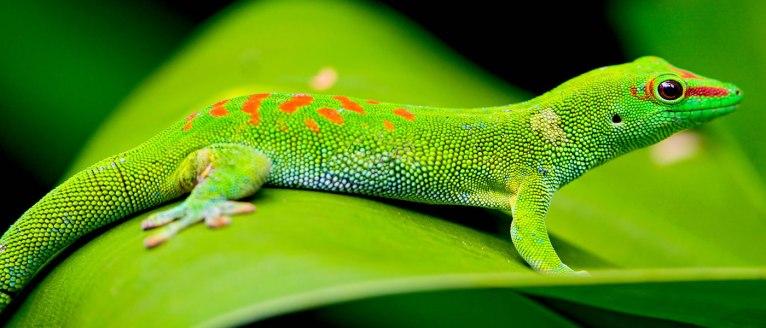 Gecko in Madagascar
