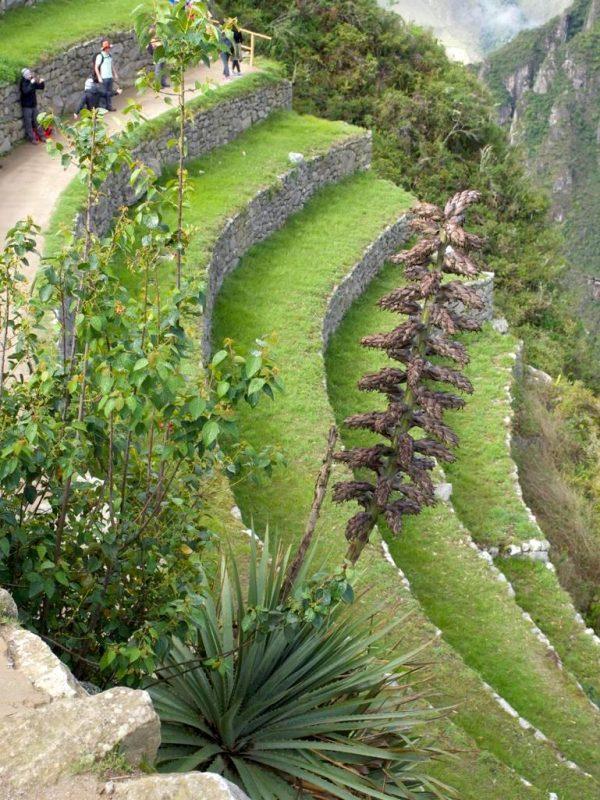Achupalla, a stunning bromeliad, Puya weberbaueri at Machu Picchu