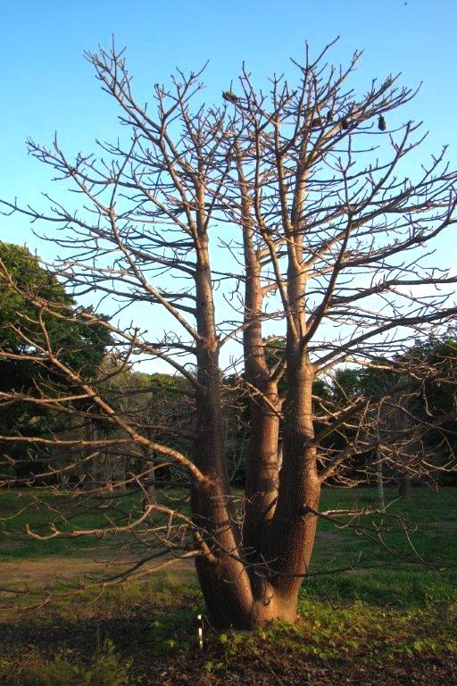 Adansonia suarezensis in Darwin Botanic Gardens