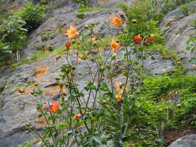 And a few imports as well – Dahlia (native to Mexico) growing on the rocks