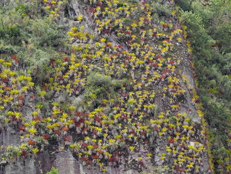 Bromeliads on the rock walls below Machu Picchu