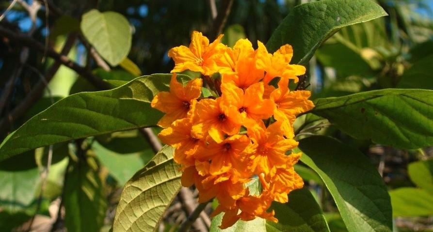Cordia subcordata in Darwin Botanic Gardens