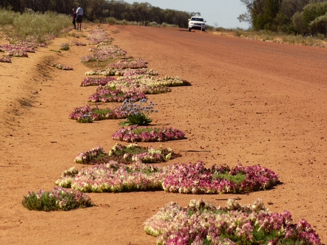 Hundreds of WA's famous red wreath flowers line the road near Mullewa, Western Australia