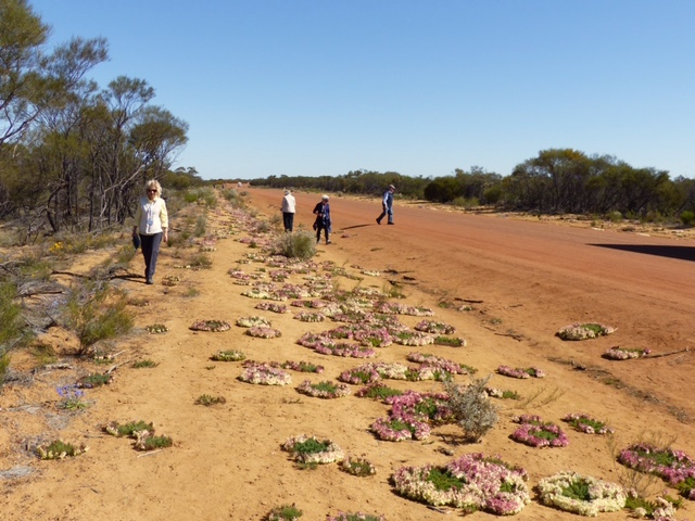 Red wreath flowers along the roadside east of Geraldton, Western Australia in 2016