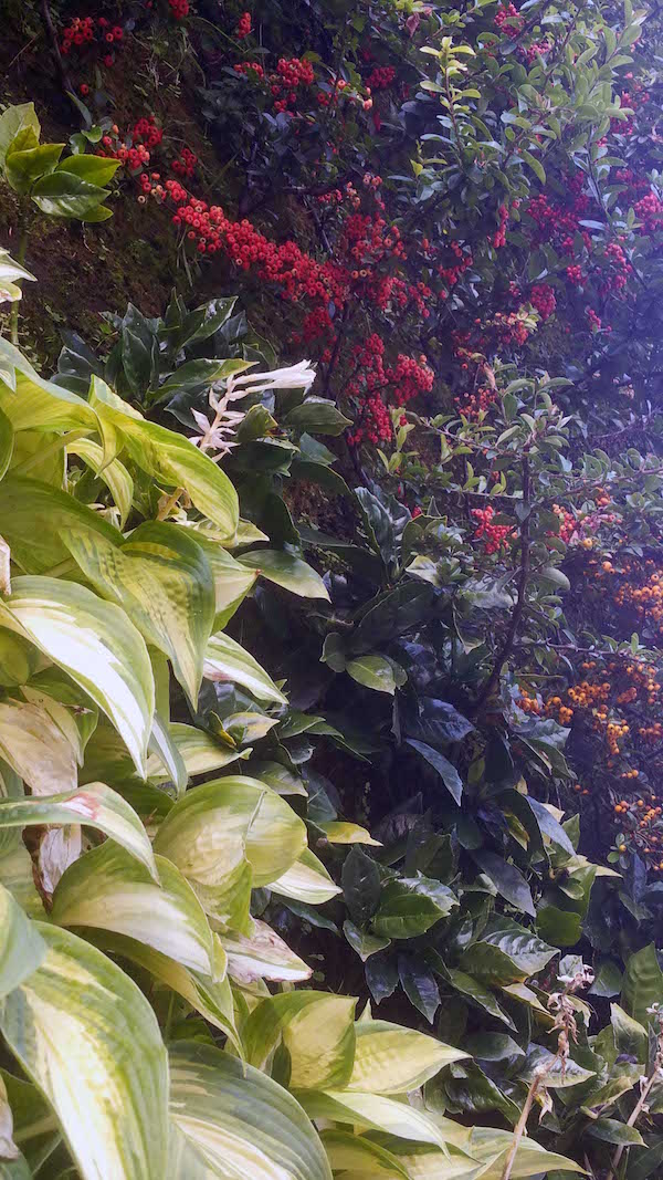 Caixa Forum Greenwall, Madrid, plants with variegated hosta and cotoneaster berry