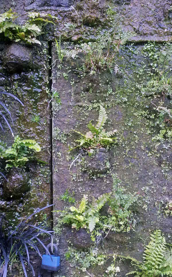 Caixa Forum Greenwall, Madrid, with newly planted ferns showing irrigation wetness and maintenance access
