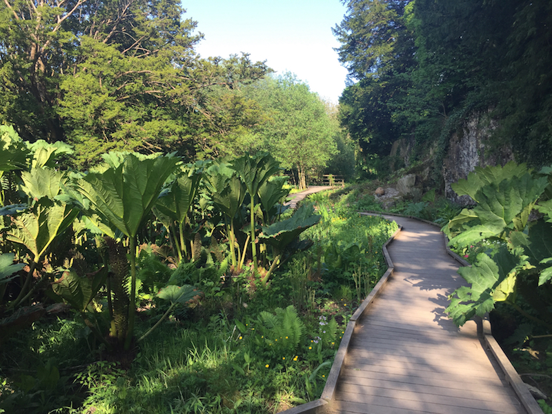 Gunnera in the Blarney Castle Boardwalk & Water Garden. Photo Ra Stewart