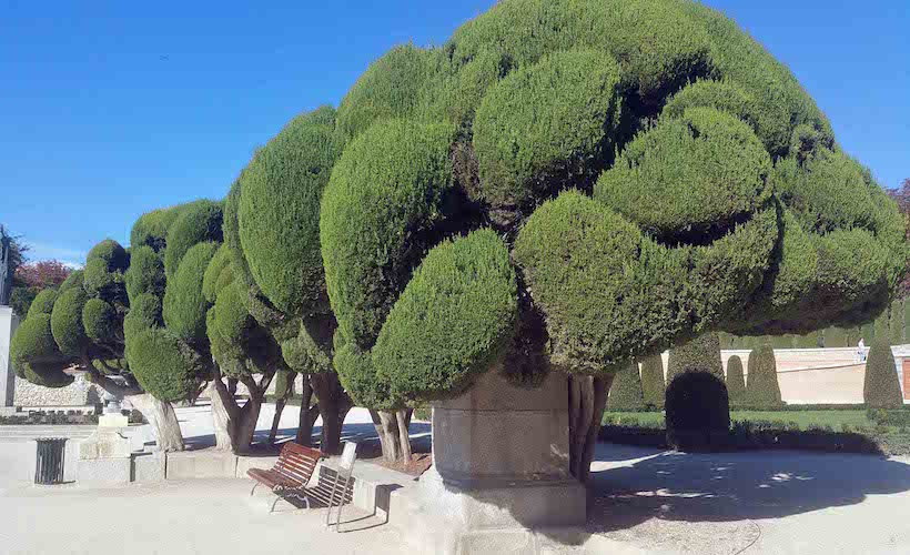 Retiro Cloud pruned cypress close up with wonderful shadows